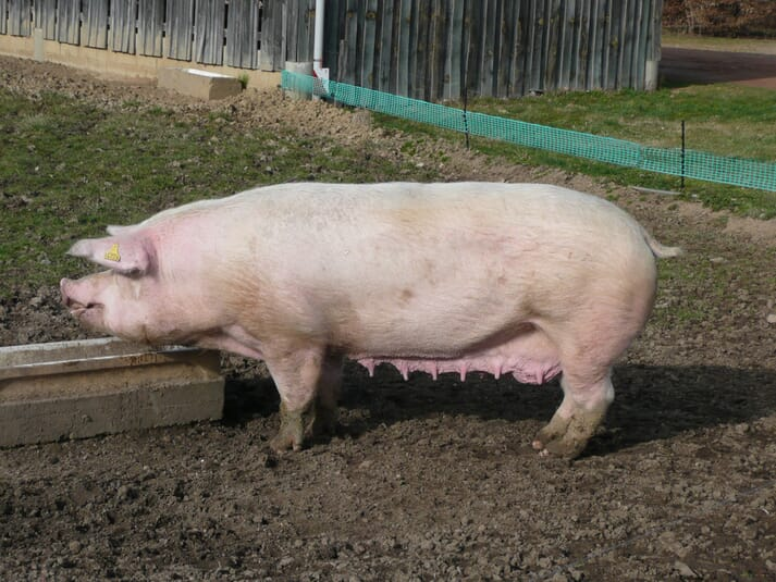 Danish Landrace pig breed