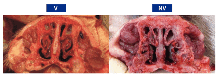 Figure 1. Maximum nasal lesion score observed in piglets at 43 days of age. (V) The maximum score in the vaccinated group was 4/18; (NV) the maximum score in the non-vaccinated group was 10/18