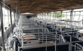 Farrowing area: Sows will be kept in open barns. To protect them from direct sunlight, the buildings will be erected with east-west orientation. thumbnail