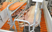 Farrowing frame: Sows tend to crush their offspring because they do not check their surroundings before lying down. To save piglet lives, livestock managers restrain sows in farrowing frames during... thumbnail