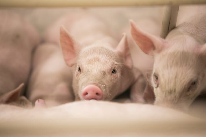 Several white composite piglets farrowed by a Camborough sow nurse in the farrowing room.