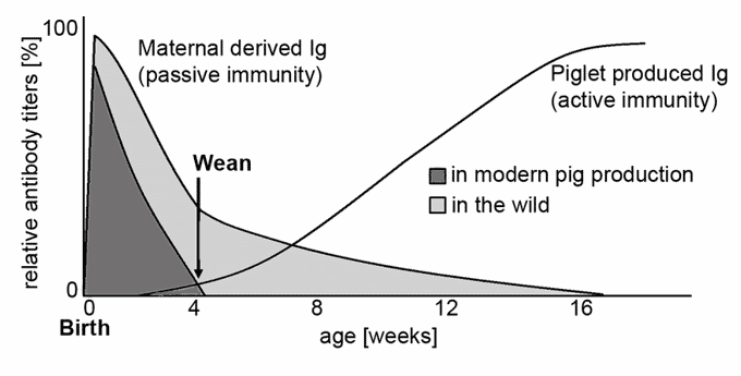 Figure 1. Illustration of the decline of maternal antibodies and the rise of endogenous antibodies in piglet blood during their first weeks of life. 100% corresponds to antibody titers of adult pigs. Adapted from thepigsite.com