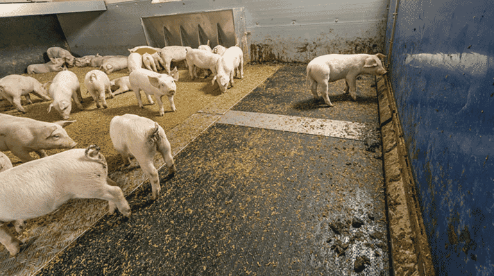 PigT in use: a special plastic floor separates faeces and urine immediately after excretion.