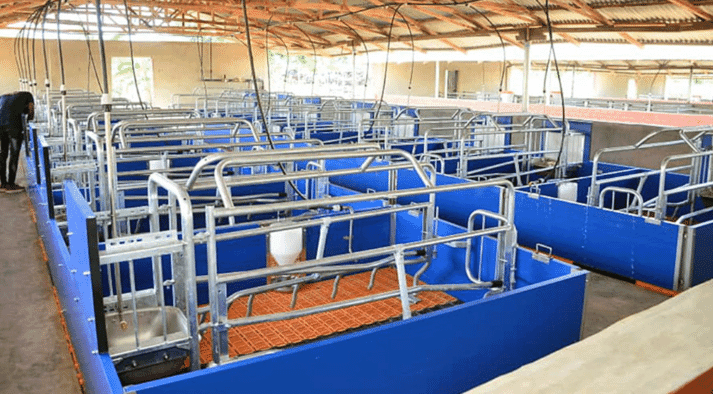 Sow management in Ilutoro | The piglets are born in farrowing frames. The very heavy sows are confined during the suckling period so they do not crush their offspring.