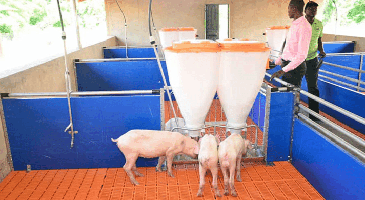 Pig finishing | Pen with piglets and two feeders
