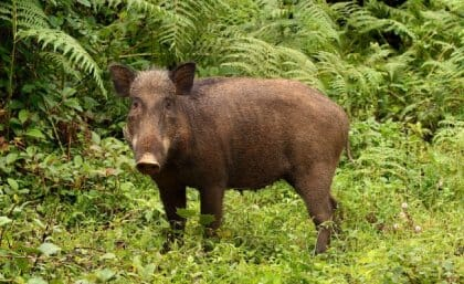 Wild pigs or boars (Sus scorfa) are native to Malaysia and also the entire of Eurasia and are invasive in all other continents, including Australia and the Americas.