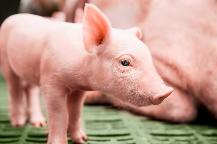 Young piglets need to be protected from coccidiosis and iron deficiency anaemia