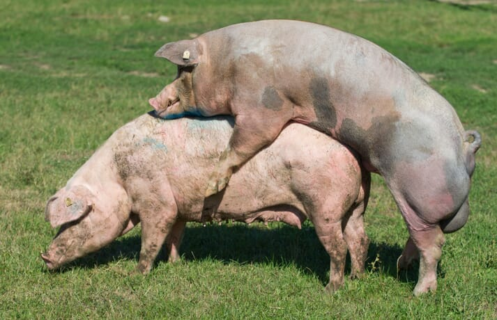 boar and sow mating outdoors on pasture