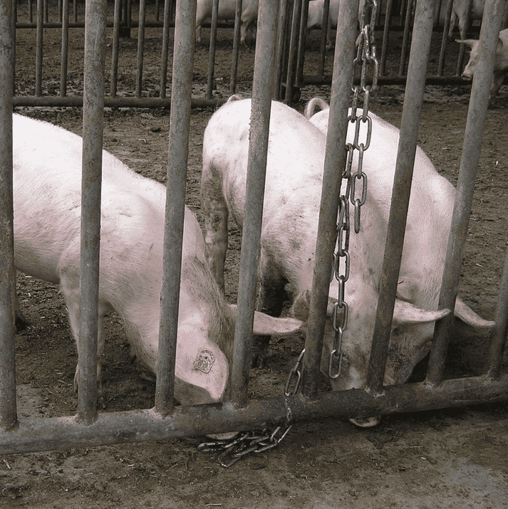 This is a chain reaching to floor level where the chain may be 'rooted' or manipulated while lying down, and to which two short pieces of chain have been attached such that ends of a chain are available at nose height to pigs of different sizes or age groups for manipulation while standing. Note, however, that this is a presumably inferior-type of c-chain, not a recommended stainless-steel anchor-chain