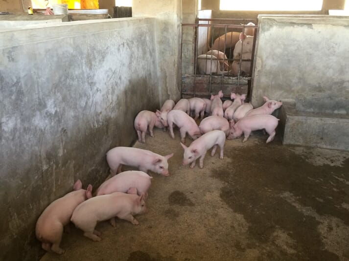 The VALUE project pig producer business syndicate farmers will share 230 breeding stock of Large White, Landrace and Duroc pigs