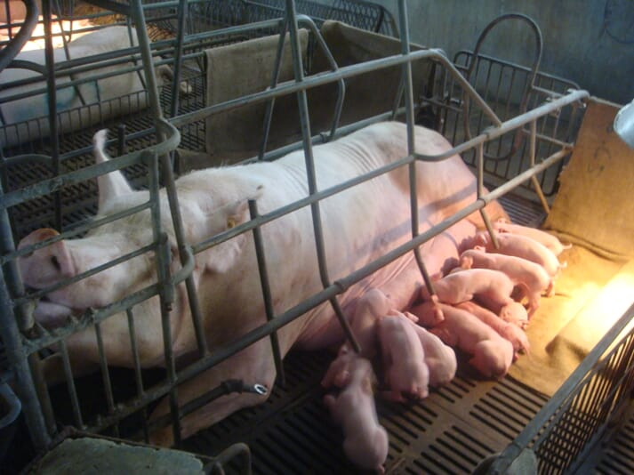 sow with piglets in a farrowing crate