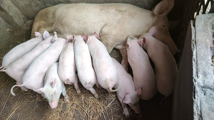 sow with piglets in an indoor farrowing room