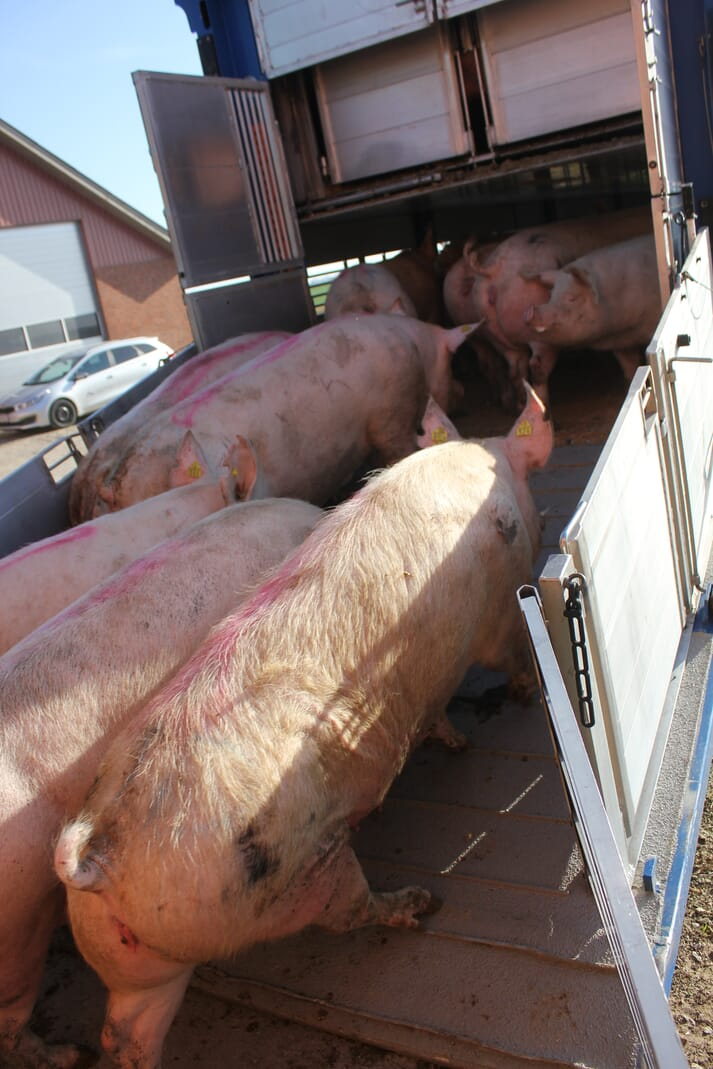Sows being loaded onto a truck