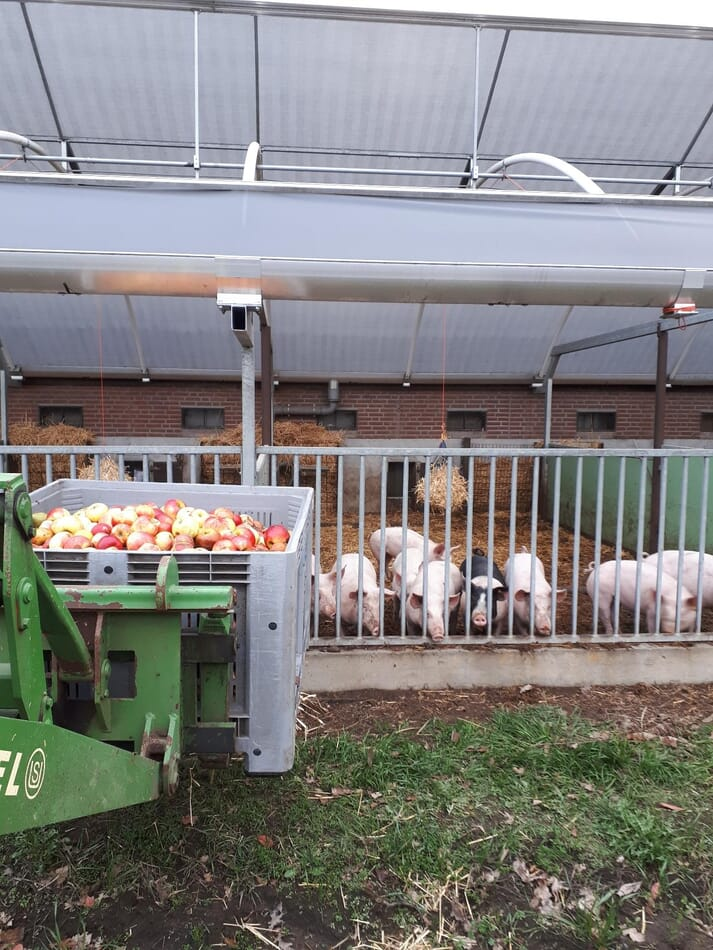 pigs stand waiting for their treat of organic apples