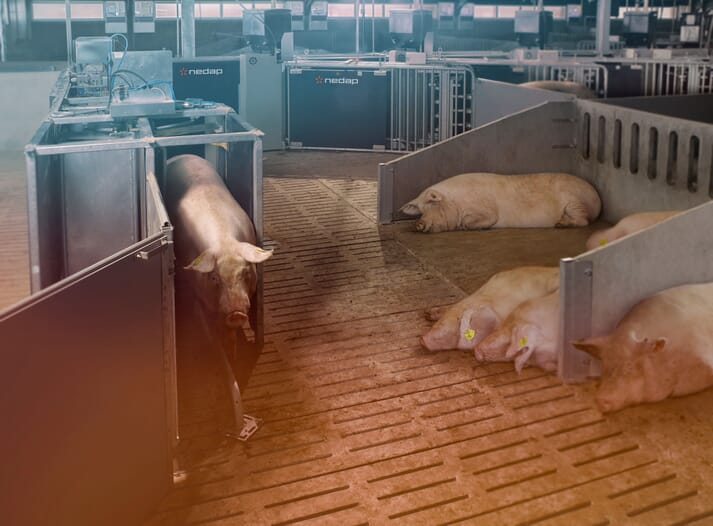 Using SowSense, if it is determined that a sow needs extra care, Nedap's Automatic Sow Separation gate will lead her to another area in the barn where the farmer can attend to her needs