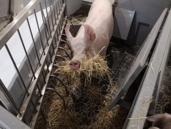 Nest building behaviour observed in gestating sows about to farrow