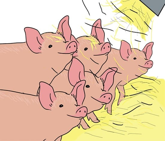 An image from the e-learning course on pig welfare, which is mandatory in Norway for all pig care providers