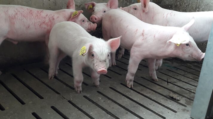 New weaner piglets stand with bites marks and skin damage caused by fighting