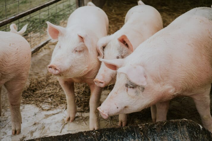 The technology founders saw a way to leverage their parasitic technology into feed and weigh with pigs