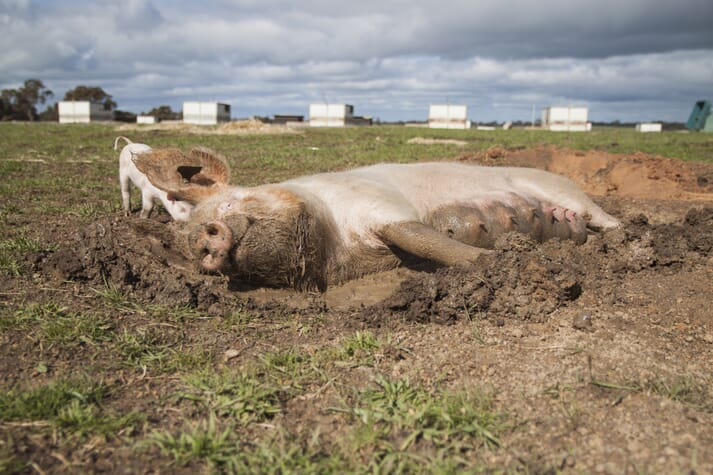 a sow rests in a wallow outdoors while her piglets run around her