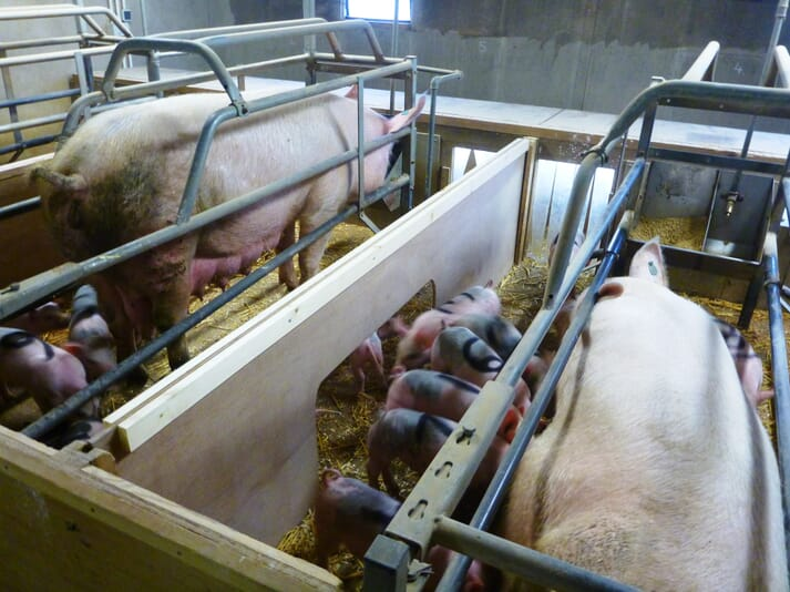 piglets socialising between farrowing pens