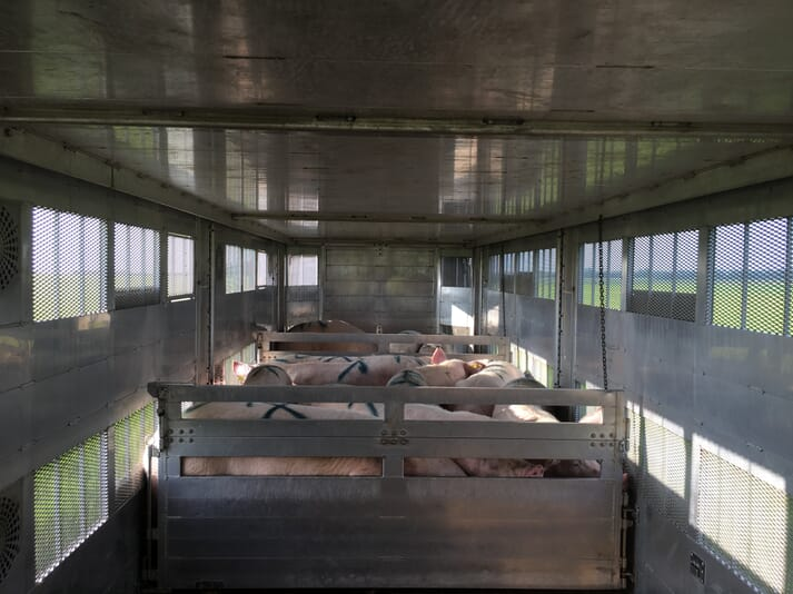 sows in sections of a truck heading to slaughter