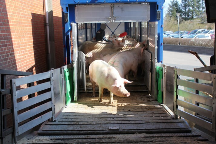 sows unloading from a transport trailer at the slaughter facility