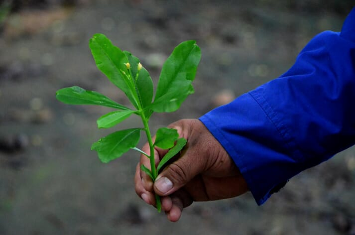 Talilong or Philippine Spinach (Talinum fruticosum) is another hit