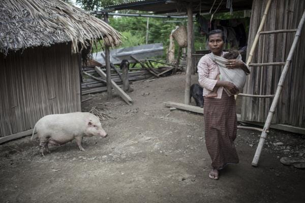 Understanding the impacts of African swine fever will help to target investments to address the disease in Timor-Leste where pigs are an important cultural and economic asset for many smallholder farmers. Photo: ACIAR/Conor Ashleigh.