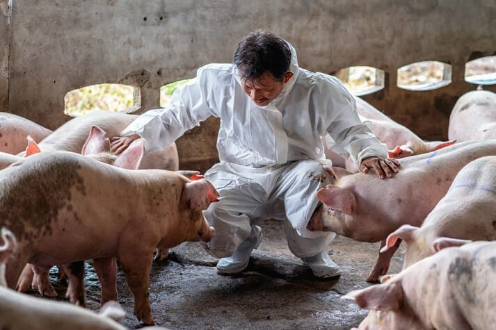 pig vet assesses the health of a herd of pigs