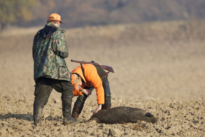 hunters examine a wild boar they have killed