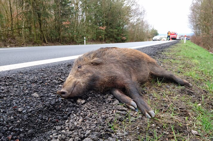 dead boar at the side of a road