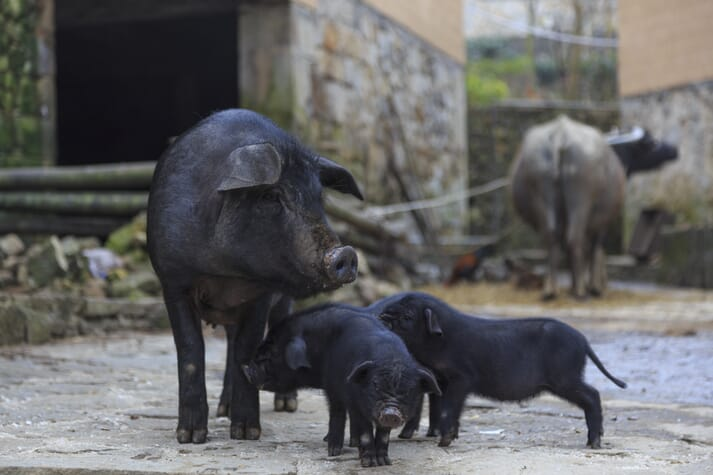 piglets and sow standing in backyard enclosure in China