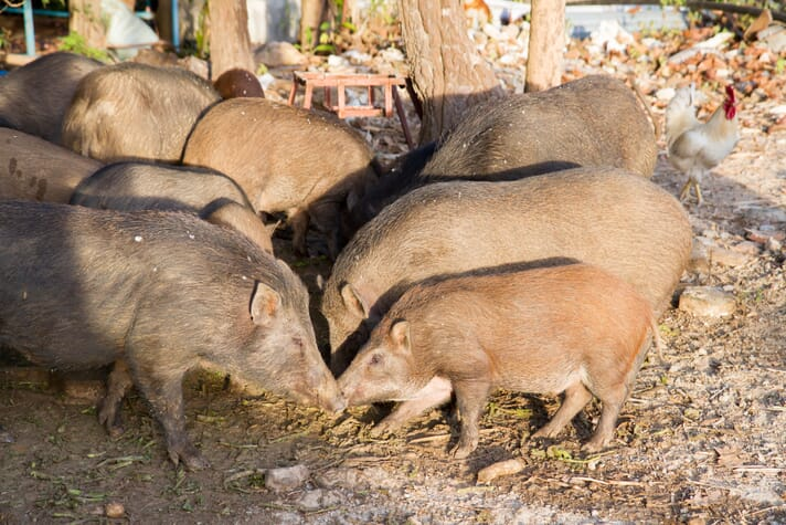 a small herd of pigs eating off the ground near a house