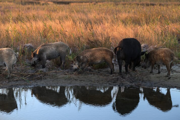 wild pigs congregate to feed around a water body