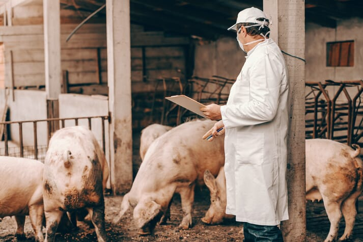 pig vet conducting checks on a small pig herd in a yard