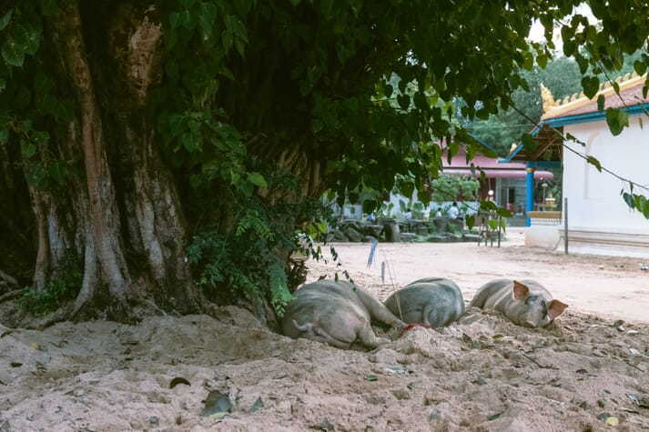 pigs lying under a tree in a street in vietnam