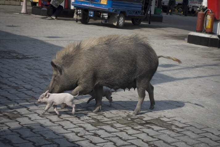 sow and her piglets run across a street in a city in India