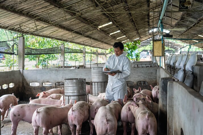 swine vet examines pig herd and takes notes