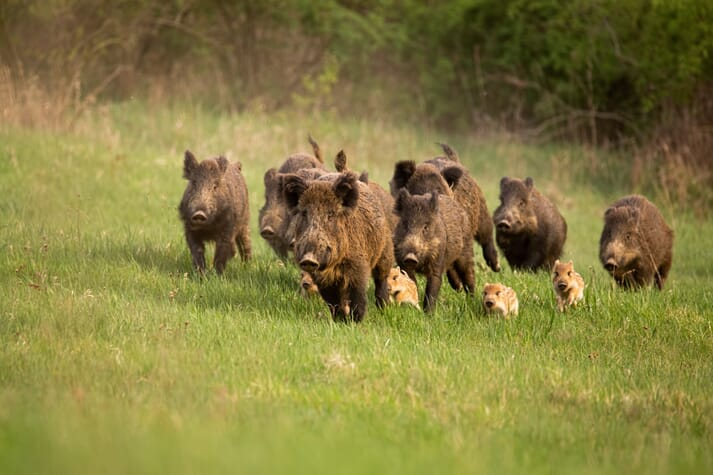 wild boar and piglets in a field