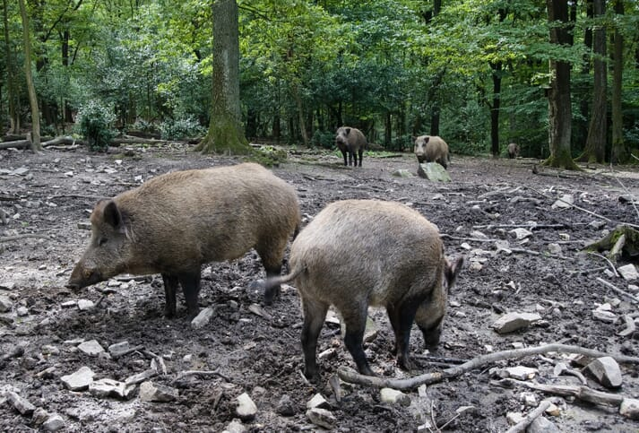 wild boar foraging in a forest