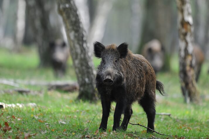 Wild boar standing in a forest