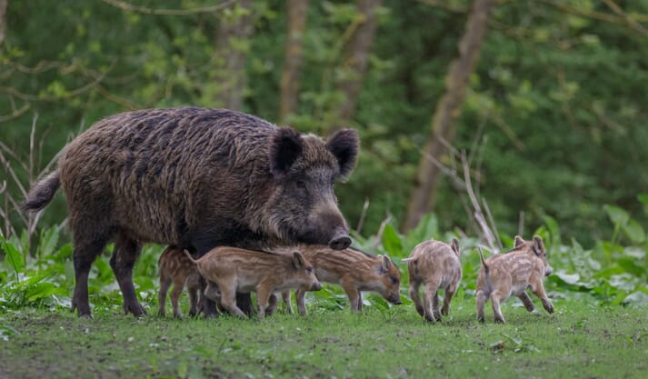 a wild pig stands with its piglets in a field