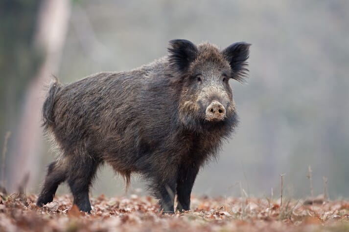 wild boar standing in leaves on a forest floor looks out towards the camera