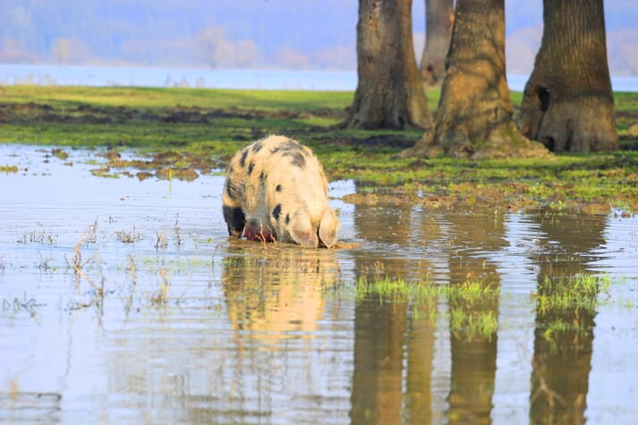 pig foraging in a flooded field
