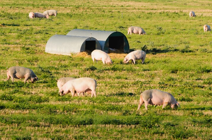 free range organic pigs grazing outdoors