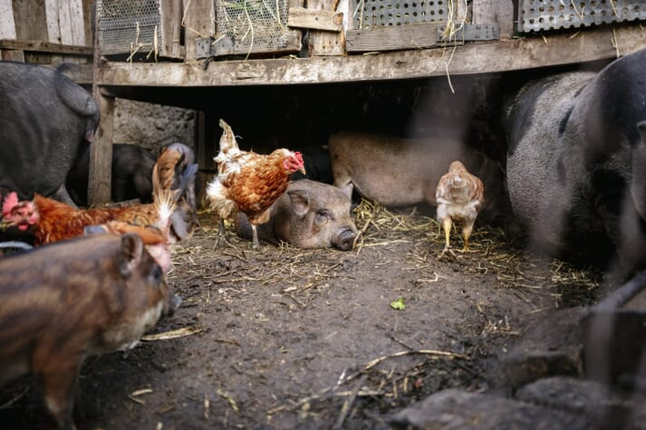 Vietnamese potbellied pigs and chickens in a small backyard pen