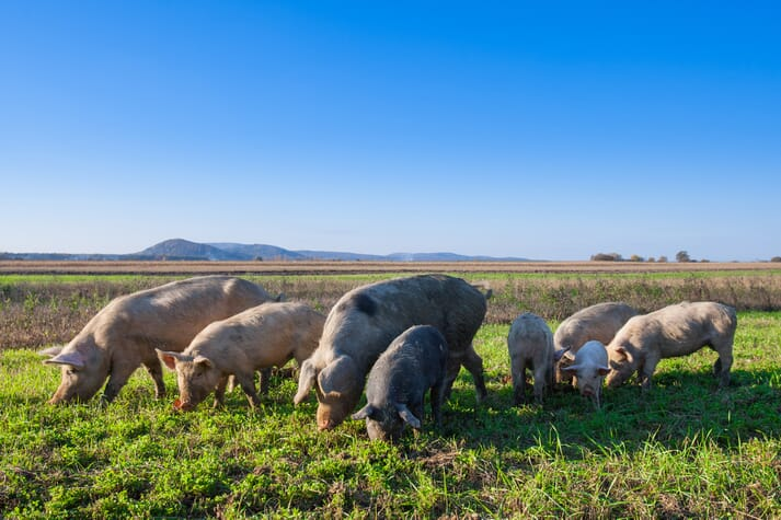 pigs grazing in green fields in front of a mountain