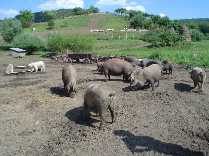 pigs outdoors grazing