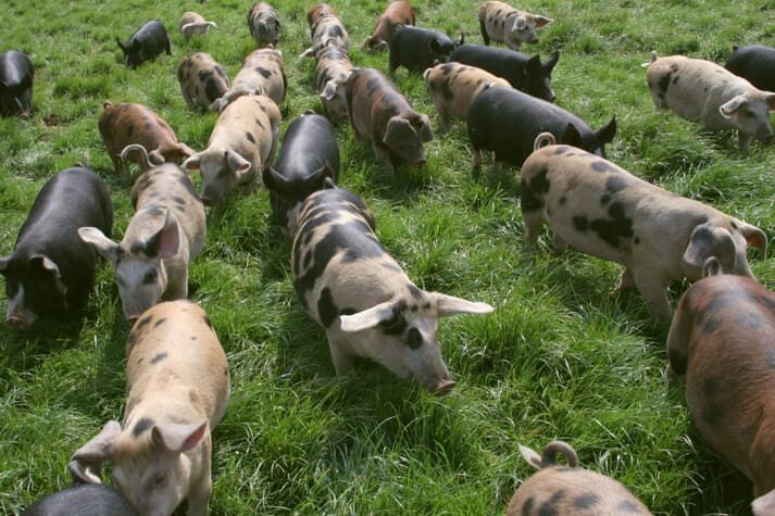 outdoor raised pigs in a pasture